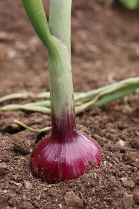You don't have to be a gardening expert to learn how to grow onions. They do well in containers or mixed into any garden bed.