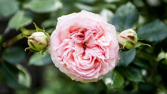 Gefüllte französische Rose | Rosen . Garten . roses . garden | Rheinland . Eifel . Koblenz . Gut Nettehammer |