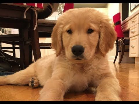 We Got A Puppy Brady The 9 Week Old Golden Retriever Youtube