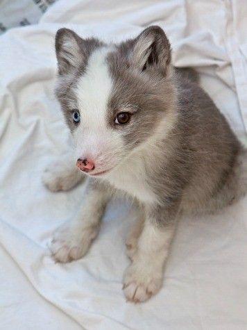 Baby Arctic Fox