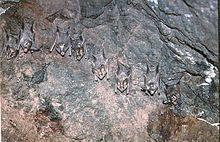 Fledermäuse – Wikipedia