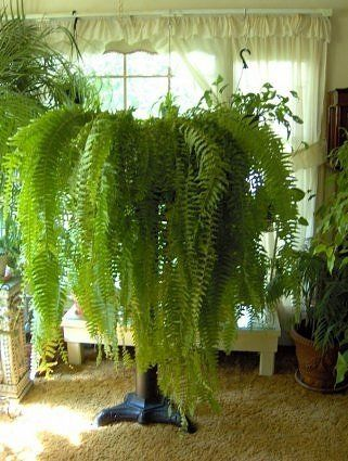 Boston Fern    These houseplants act as humidifiers: They restore moisture to the air by releasing water vapor in exchange for atmospheric pollutants, which the plants convert to fuel.