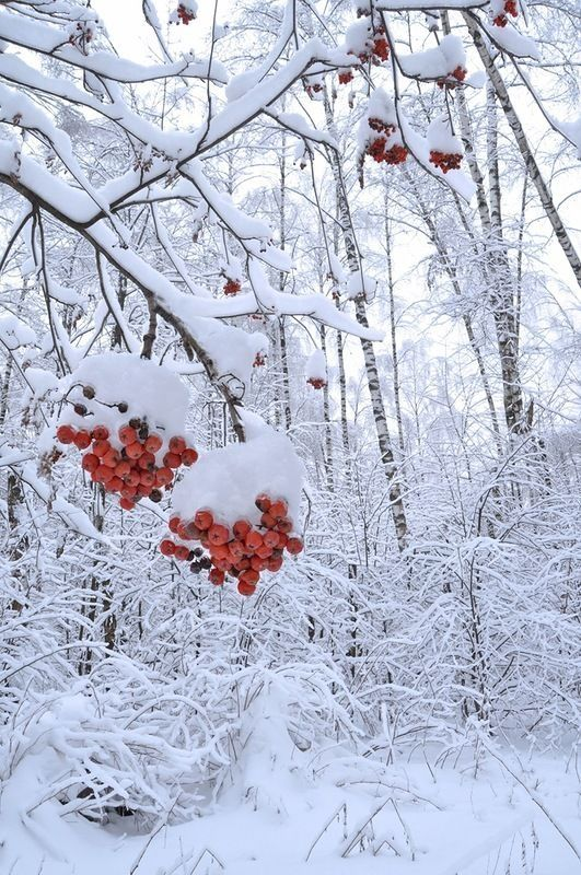 Snow Winter Forest Nature Berries Winter Scenery Winter Nature Winter Pictures