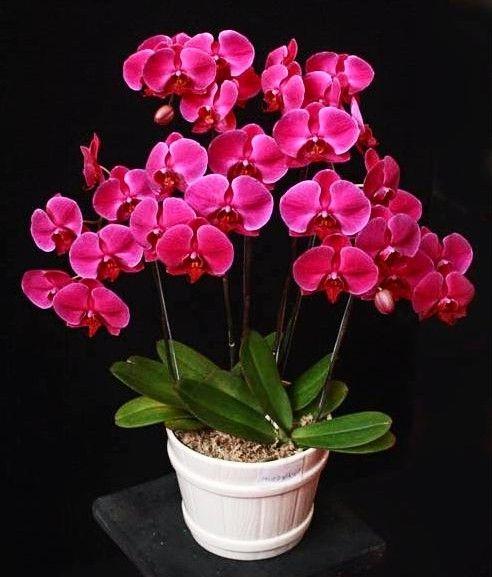 Cara Merawat Bunga Anggrek Agar Cepat Berbunga Tanaman Anggrek Adalah Salah Satu Tanaman Bunga Yang Indah Di Dunia Orang Pun Ban Anggrek Bunga Eksotis Bunga