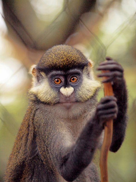 red-tailed guenon monkey