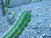 Cleistocactus fieldianus