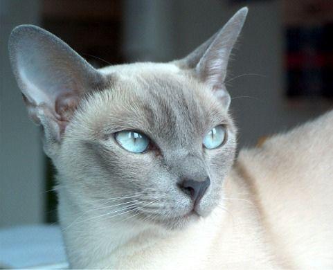 Lilac Platinum Mink Tonkinese Cat Burmese Cat Beautiful Cats