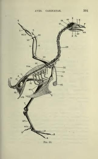 The Vertebrate Skeleton (1897)