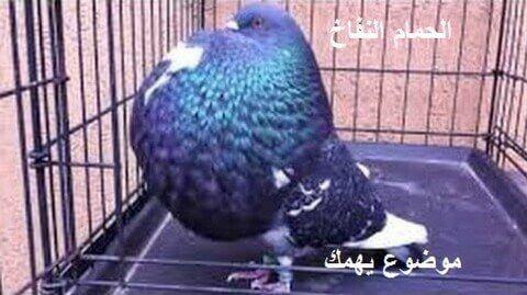 افضل انواع الحمام النفاخ الاصلي موضوع يهمك Animals Parrot Bird