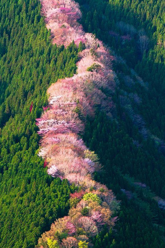 Cerejeiras selvagens em Nara - Japão. em: photohito.com: