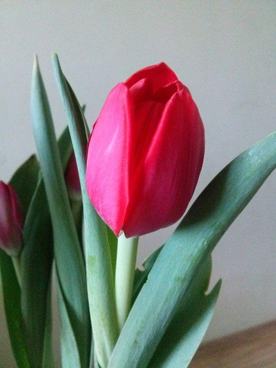 tulipa solitária...