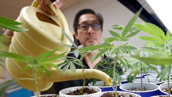 nutrientes para marihuana