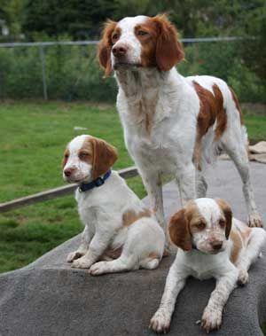 El Spaniel Bretón es una raza de perro criado principalmente para la caza de aves y conejos. Pertenece al grupo 7 de la FCI, Perros de Muestra.