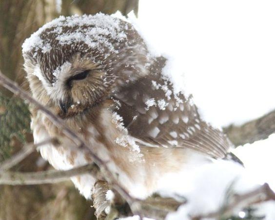 Owl in Snow.