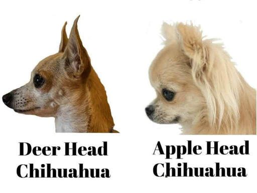 Long Hair Applehead Where Is Deer Head And Toy Not Micromini To Some Size The Bigger The Better But I Will Carr Chihuahua Teacup Chihuahua Apple Head Chihuahua