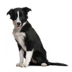 Il Border Collie è un cane di taglia media agile e scattante, particolarmente vivace e molto intelligente. Perfetto come cane da compagnia, è spesso scelto per le discipline dell'agility.