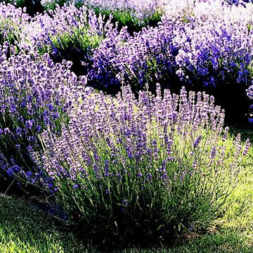 English Lavender - English lavender (Lavandula angustifolia) is the most widely grown type of lavender in North America because it doesn't mind humidity and winter moisture as much as other lavenders. It's also the most commonly used in cooking and baking, and has a sweet, soft fragrance.
