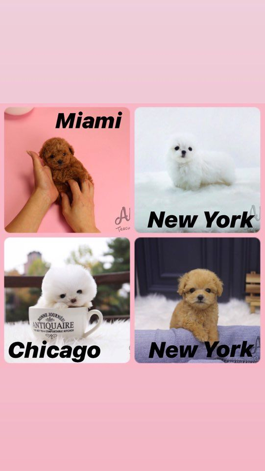 Last Week Aloha S Puppies Also Met Their New Family They Ve All Arrived Safely Would You Like Teacup Puppies Teacup Puppies For Sale Cute Teacup Puppies