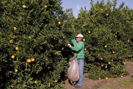 Colheita de laranjas em Conchal (SP).