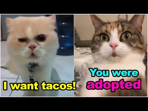 These Cats Can Speak English Better Than Hooman Cat Came To Mexican Restaurant And Ordered Tacos Youtube Funny Talking Cat Cats Cat Talk