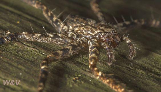 mega aranha