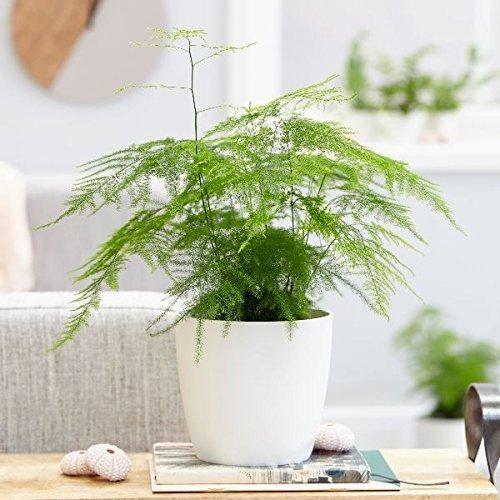 Asparagus setaceus Fern Plant 25 Seeds #House Plant