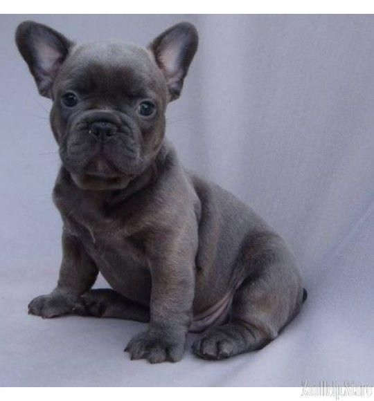 French Bulldog Exclusive Puppies Price 1 800 French Bulldog