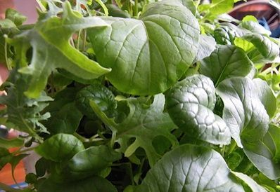 Grow your own salads indoors all winter spinach greenhouses and plants - Salads can grow pots eat fresh ...