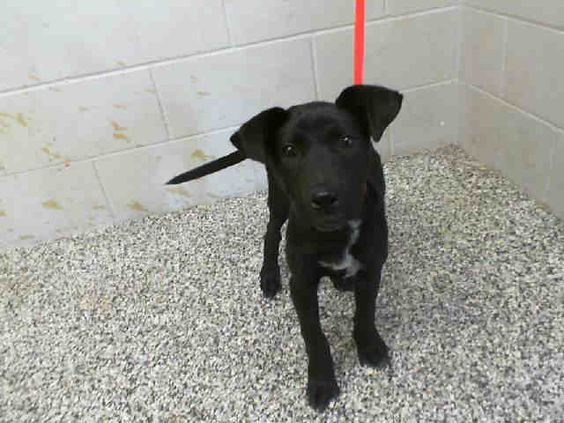 11 / 22   REAGAN - ID #A476053 (MUST EXIT ON 12/2) I am a female, black and white Labrador Retriever mix.  Shelter staff think I am about 4 months old.  I have been at the shelter since Nov 21, 2014. For more information about this animal, call: San Bernardino City Animal Control at (909) 384-1304 Ask for information about animal ID number A476053 http://www.petharbor.com/pet.asp?uaid=SBCT.A476053