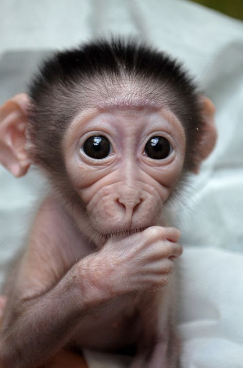 A rare newborn Mangabey Monkey at Paris's Museum of Natural History.