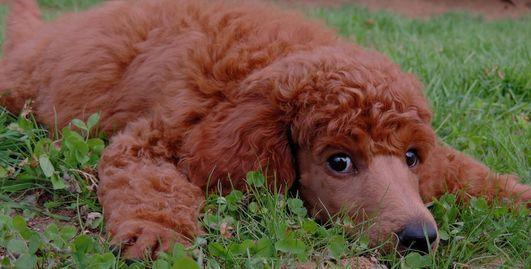 Dark Red Standard Poodles Darla S Red Standard Poodle S Red