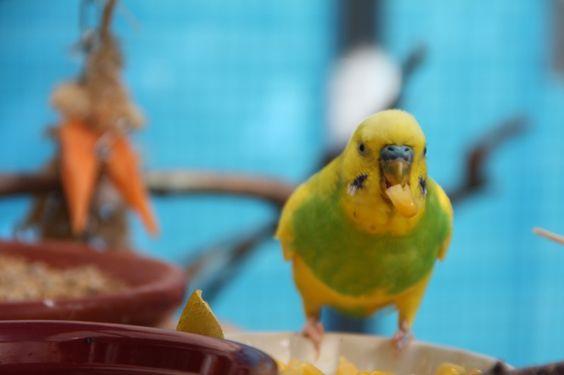 budgie - perruche ondulée