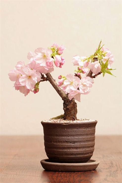 10pcs Rare Sakura Seeds Cherry Blossoms Seeds Garden Flower Bonsai Tree Bonsai Flower Beautiful Pink Flowers Flower Seeds