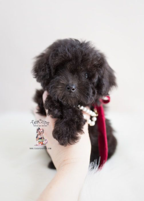 Black Toy Poodle Puppy For Sale Teacup Puppies 371 Dog Breeds