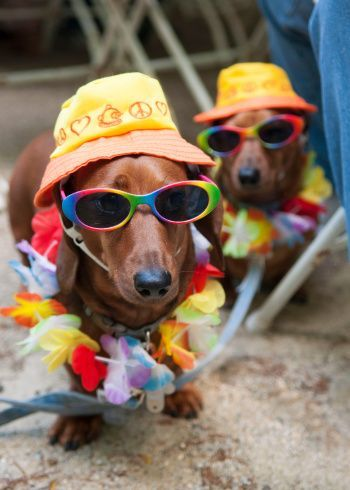 Beach Boys~when I get a dog he is going to hate me because I am totally going to do things like this! #dachshund