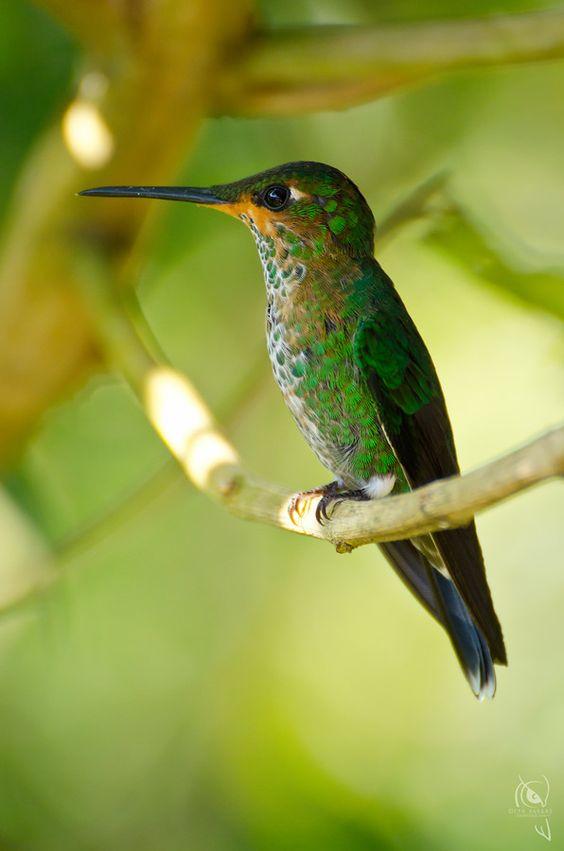 Green Crowned Brilliant Humming Bird(heliodoxa jacula) - Photo by Cyn Vargas