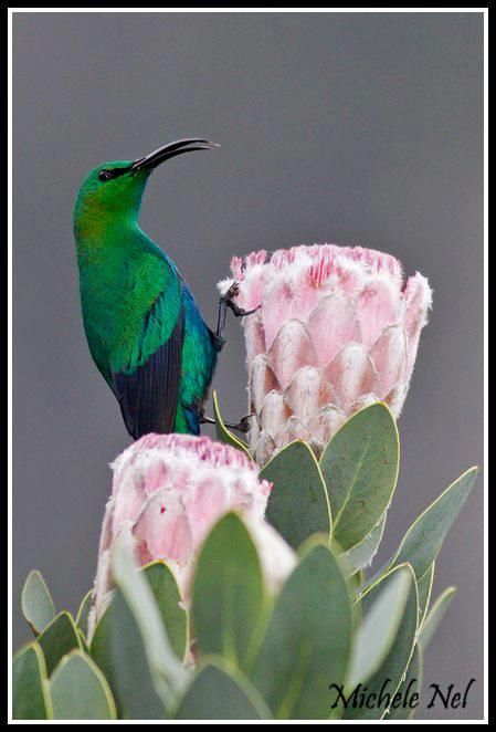 Malachite Sunbird, Kirstenbosch, Cape Town, South Africa