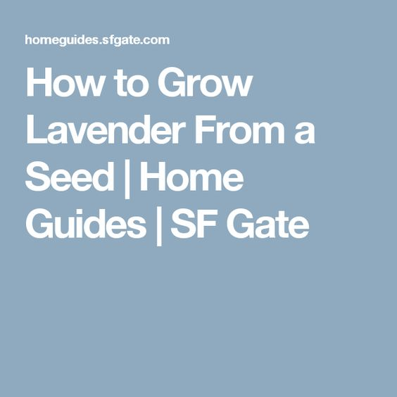 How to Grow Lavender From a Seed | Home Guides | SF Gate