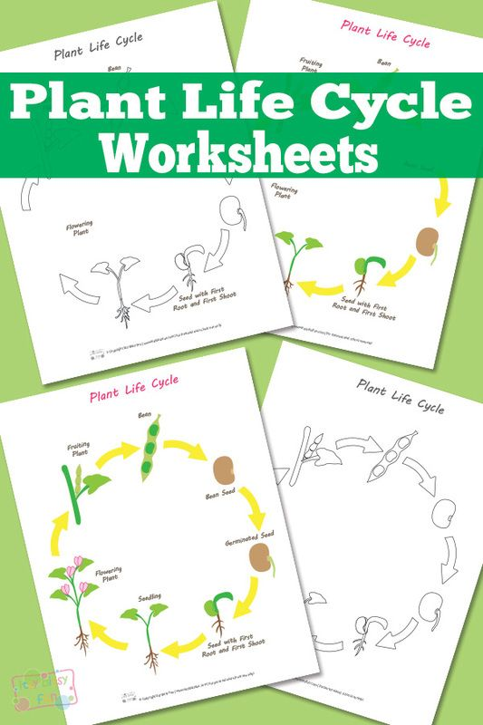 Plant life cycles, Life cycles and Worksheets on Pinterest