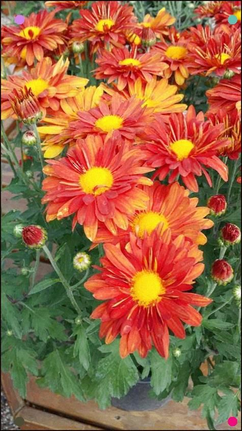 Chrysanthemum Hardy Mum Beautiful Flowers Garden Mums Flowers Flower Pots