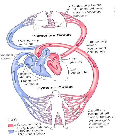 Essay about the heart and circulatory system