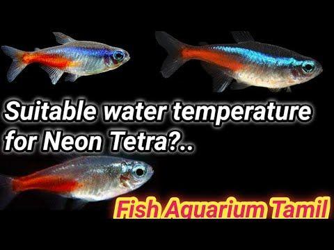 Aquariums What Is The Suitable Temperature For Neon Tetra Fish Aquarium Tamil Neon Tetra Freshwater Aquarium Tetra Fish