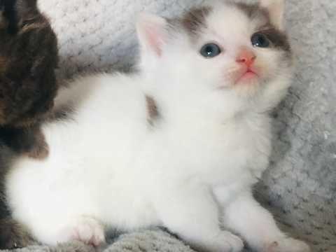 5 British Shorthair X Kittens For Sale Bolton Greater Manchester Pets4homes Kittens Kitten For Sale British Shorthair
