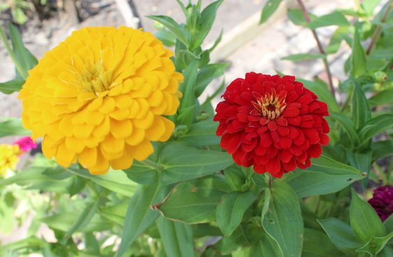 My mother  is convinced that I would not have had a little sister if it weren't for zinnias.  Now before your mind goes wandering to some hot and steamy romantic place that it shouldn't…