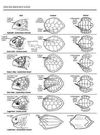 St. Catherines Island Sea Turtle Conservation Program: Life History: Georgia Sea Turtles