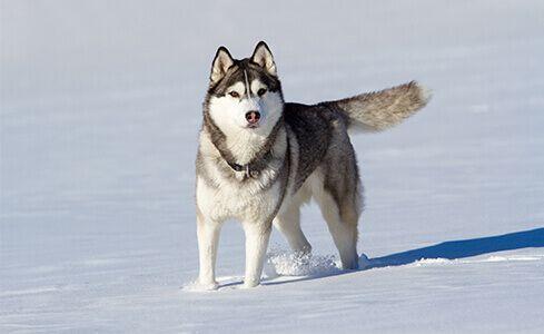 ร จ กไซบ เร ยน ฮ กก ส Dog Breeds Best Dogs Best Dog Breeds