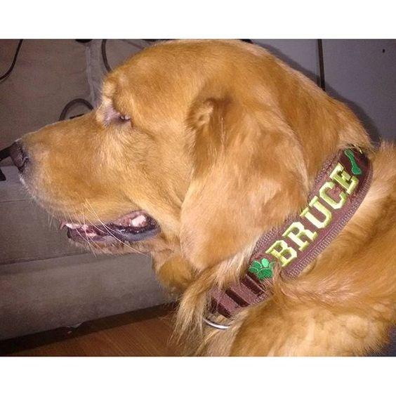 Bruce lindão da Sandra! Olha que tamanho de ursinhooo    #doglovers #bigdog  #caesgrandes #coleiraidentificacao #coleirapersonalizada #coleirabordada #goldenretriever #golden #petpatua  #petpatuabyflorita  #floritadesign  #coleira5cm