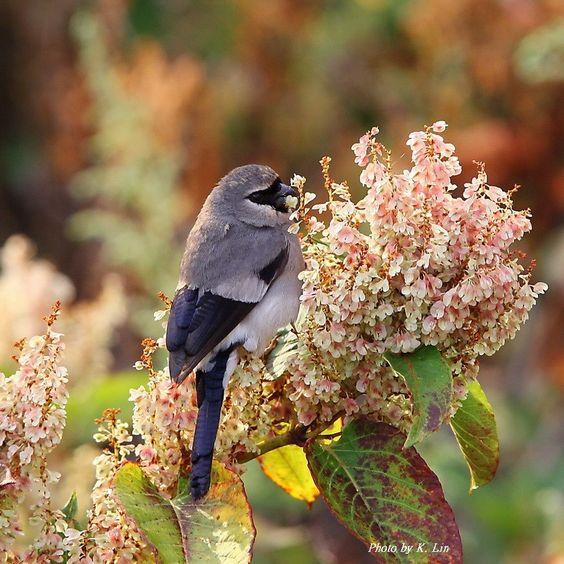 Beavan's Bullfinch