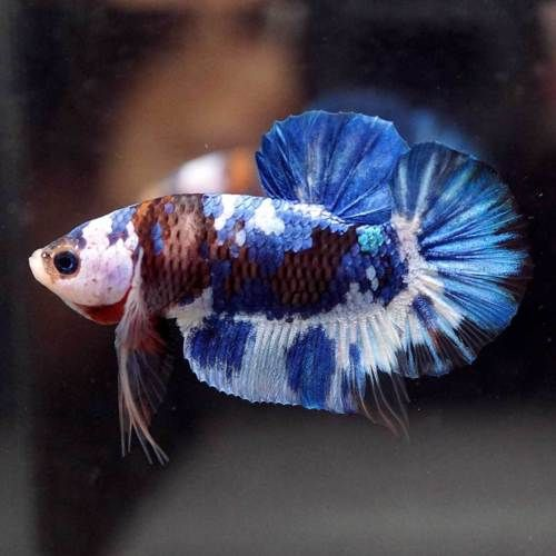 Pin On Beautiful Betta Fish