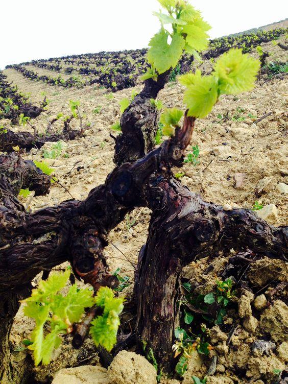 Estado del viñedo de Montilla-Moriles el día 01 de abril de 2014 (2)